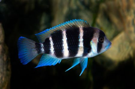 frontosa: C. Frontosa, a colorful tropical fish of the cichlid
