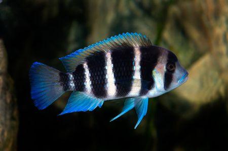 buntbarsch: C. Frontosa, eine bunte tropische Fische der Cichlid