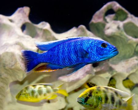 colorful tropical fish of the cichlid