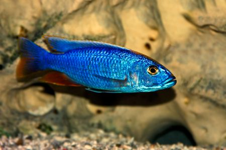 fishtank: S. fryeri, a colorful tropical fish of the cichlid  Stock Photo
