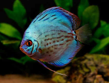 colorful tropical fish of the Symphysodon discus spieces Stock Photo - 2422592