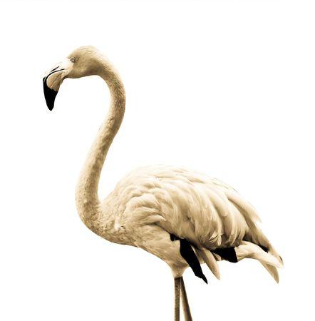 flamenco ave: Un colorido p�jaro flamenco sobre fondo blanco