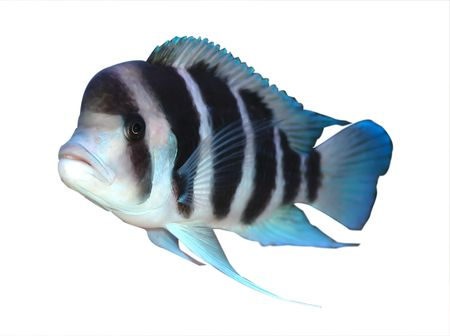 frontosa: colorful cichlid from lake Tanganyika, Africa Stock Photo