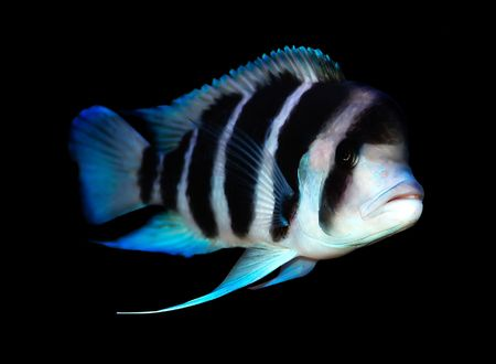 colorful cichlid from lake Tanganyika, Africa Stock Photo - 2429382
