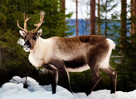 wild reindeer in its natural habitat in the north of Sweden