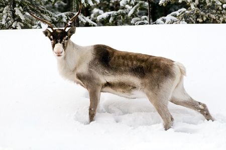 laponie: rennes dans le milieu naturel en Laponie scandinave  Banque d'images