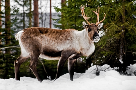 caribou: wild reindeer in its natural habitat in the north of Sweden