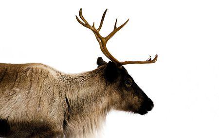 laponie: rennes de l'environnement naturel dans les pays scandinaves, la Laponie