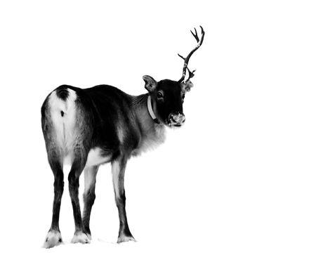 lapland: reindeer in the natural enviroment in Scandinavian lapland