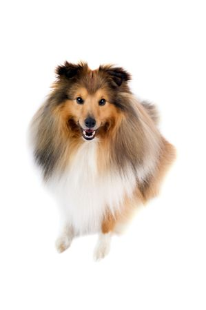 willing: cute shetland sheepdog (sheltie) on a white background