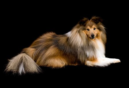 cute shetland sheepdog (sheltie) on a black background