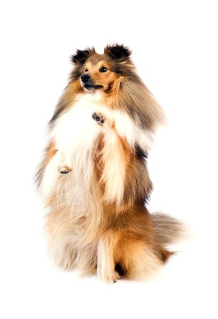 trained: cute shetland sheepdog (sheltie) on a white background