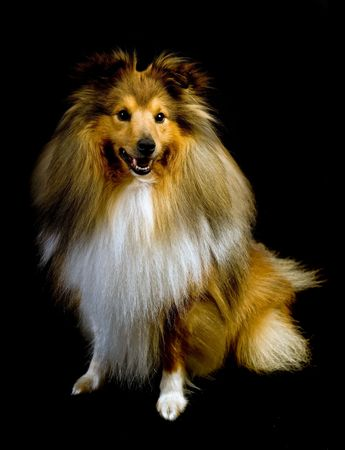 sheepdog: cute shetland sheepdog (sheltie) on a black background