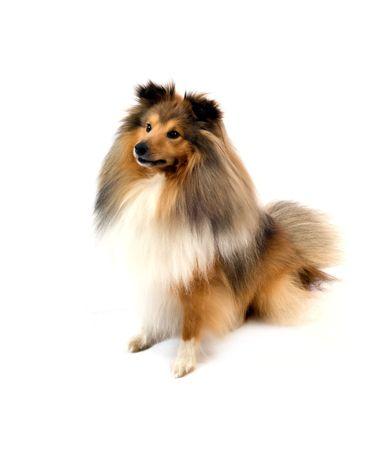 willing: cute shetland sheepdog (sheltie) on a white background