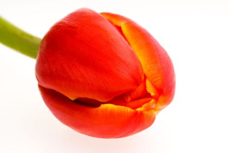 close up of a red tulip flower photo