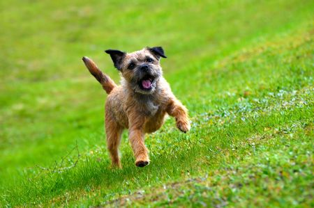 english border terrier playing on green grass