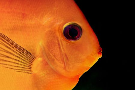 close up a colorful tropical discus fish photo
