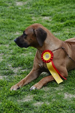 trained: beautiful Rhodesian Ridgeback posing at a dog show Stock Photo