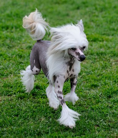 crested: beautiful Chinese Crested dog posing at a dog show Stock Photo