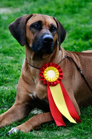 ridgeback: beautiful Rhodesian Ridgeback posing at a dog show Stock Photo