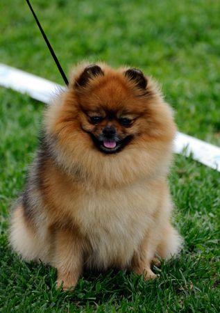 trained: beautiful Pomeranian dog posing at a dog show Stock Photo