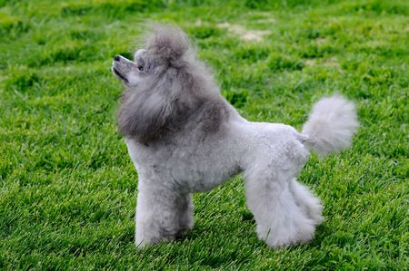 beautiful poodle posing at a dog show Stock Photo