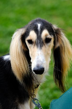 beautiful Saluki dog posing at a dog show