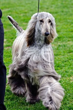 beautiful afghan hound posing at a dog show photo