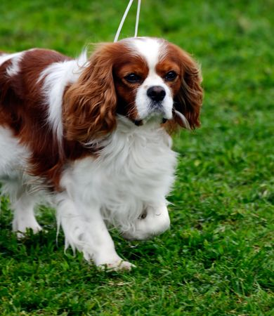 cavalier: beautiful Cavalier King Charles Spaniel  dog posing at a dog show