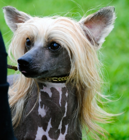 beautiful Chinese Crested dog posing at a dog show Stock Photo