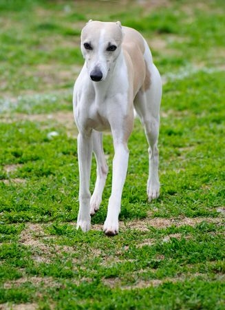 trained: beautiful greyhound dog posing at a dog show Stock Photo