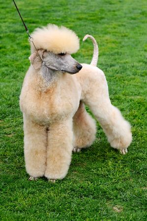 well cut poodle dog at a dog show