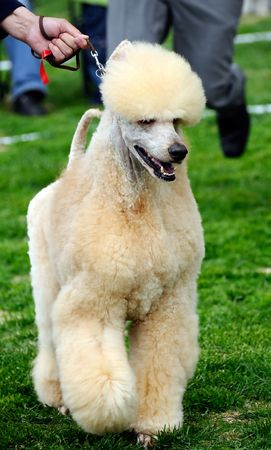 trained: well cut poodle dog at a dog show