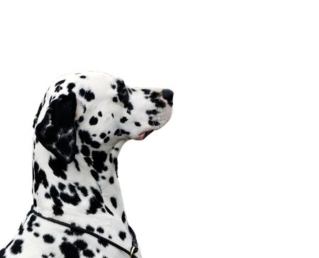 dalmatian dog isolated on white Stock Photo