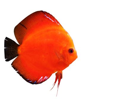 pez disco: coloridos peces tropicales Symphysodon discusi�n sobre fondo blanco