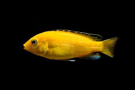 buntbarsch: cichlid tropische Fische --  Lizenzfreie Bilder