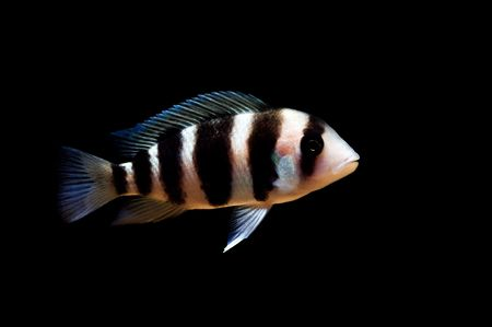 frontosa: tropical cichlid fish from lake tangayika, Africa