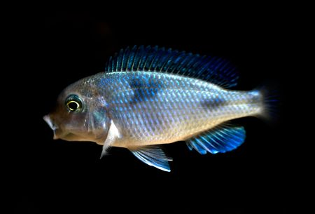 buntbarsch: Cichlid tropische Fische