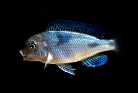 tropical cichlid fish Stock Photo - 3496541