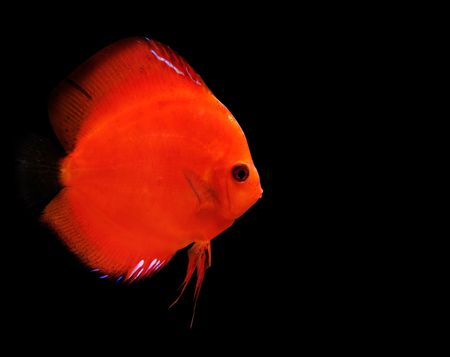colorful tropical Symphysodon discus fish on black background photo