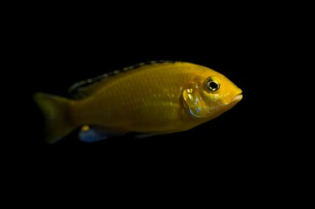 tropical yellow fish from lake malawi, africa Stock Photo - 3496547