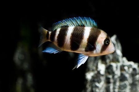 frontosa: Frontosa cichlid from lake tangayika, Africa