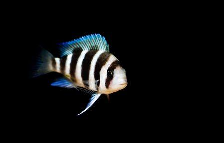 cichlid: Frontosa cichlid from lake tangayika, Africa