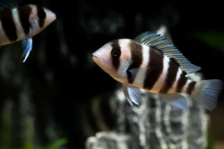 striped cichlid fish of the frontosa spieces Stock Photo - 3550483