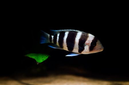 striped cichlid fish of the frontosa spieces Stock Photo - 3561959