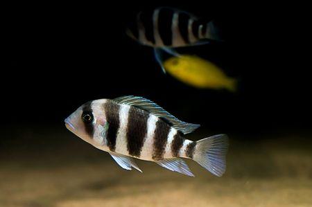 buntbarsch: Striped Buntbarsch Fische von der Beulenkopf-spieces
