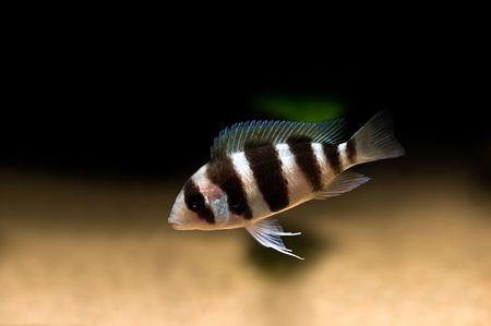 striped cichlid fish of the frontosa spieces Stock Photo - 3584406