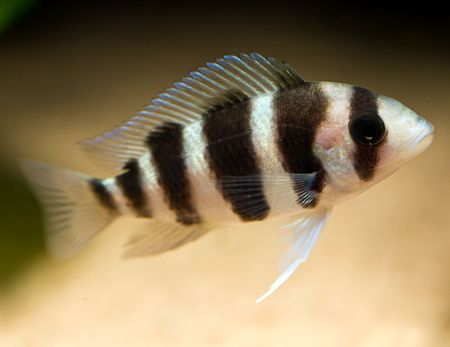 striped cichlid fish of the frontosa spieces Stock Photo - 3584408
