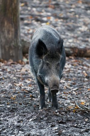 sus: wild boar (Sus scrofa) on a cold autumn day Stock Photo
