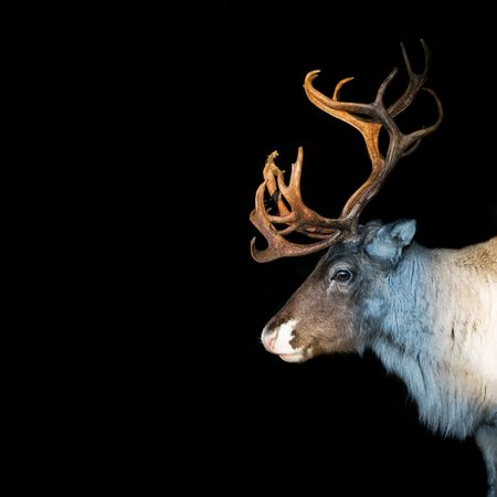 caribou: an adult reindeer from swedish lapland